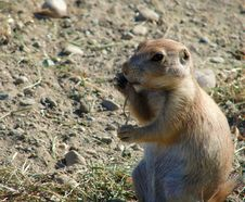Free Prairie Dog Stock Image - 1345081