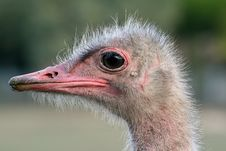 Free Ostrich Head Royalty Free Stock Photos - 1345118