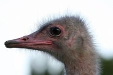 Free Strange Ostrich Stock Photography - 1345212