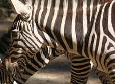 Free Zebras Stock Photo - 1345240