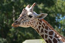 Free Mother Giraffe Royalty Free Stock Photos - 1345248