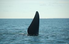 Free Whale Tail Diving Stock Image - 1345291