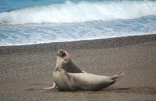Free Two Sea-Lions Fighting Royalty Free Stock Photos - 1345318