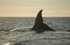 Free Whale Diving Stock Photography - 1345342