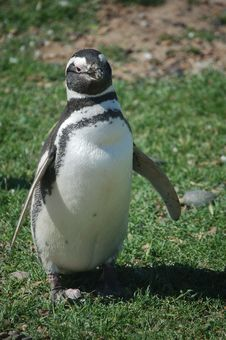 Penguin Posing Royalty Free Stock Images