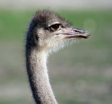 Free Isolated Ostrich Head Stock Photo - 1345570