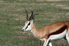Female Thompson Gazelle Stock Image