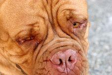 Free Dogue Bordeaux, Bordeaux Dog Royalty Free Stock Image - 1345896