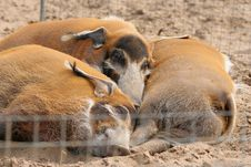 Free Boars Stock Photography - 1346192