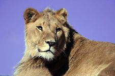 Free Lion On Blue Sky Stock Images - 1346844