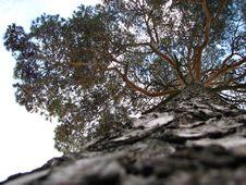 Free Big Pine Tree Stock Photography - 1347492