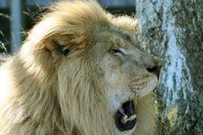 Free Lion Yawn Royalty Free Stock Photography - 1347777