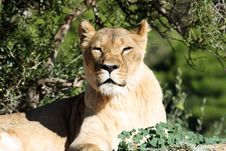 Closed Eyes Lion Royalty Free Stock Image