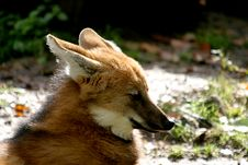 Free Head Of A Maned Wolf In Sun Royalty Free Stock Images - 1348359