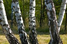 Free Birches Royalty Free Stock Image - 1348386