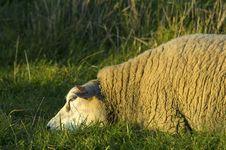 Sheep Resting Royalty Free Stock Image