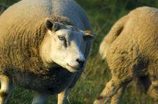 Free Sheep Stock Photo - 1349310