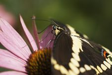 Free Giant Swallowtail Butterfly (Papilo Cresphontes) On Pink Conflower Stock Image - 1349591