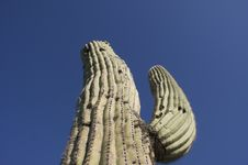 Free Cactus Royalty Free Stock Photography - 13408507