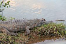 Free Crocodilia, Alligator, Crocodile, American Alligator Stock Image - 134004141