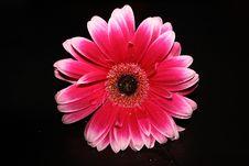 Free Flower, Pink, Flowering Plant, Gerbera Royalty Free Stock Photo - 134004285