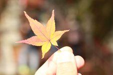 Free Leaf, Maple Leaf, Plant, Tree Stock Images - 134004304