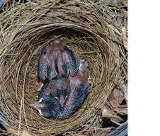 Free Bird Nest, Fauna, Nest, Beak Royalty Free Stock Image - 134004416