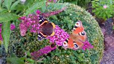 Free Butterfly, Moths And Butterflies, Brush Footed Butterfly, Flower Royalty Free Stock Images - 134004629