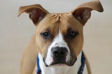 Free Dog, Dog Breed, Dog Like Mammal, American Staffordshire Terrier Stock Photo - 134004750