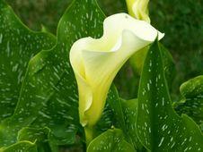 Free Arum, Plant, Flower, Vegetation Royalty Free Stock Images - 134004849