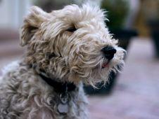 Free Dog Breed, Dog, Dog Like Mammal, Poodle Crossbreed Royalty Free Stock Photos - 134004858