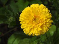 Free Flower, Yellow, Flora, Chrysanthemum Coronarium Royalty Free Stock Image - 134004956