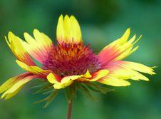Free Flower, Yellow, Blanket Flowers, Wildflower Stock Photography - 134004992
