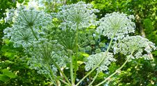 Free Plant, Apiales, Parsley Family, Cow Parsley Royalty Free Stock Photography - 134005447