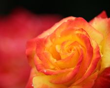Free Flower, Red, Rose, Yellow Stock Photography - 134005942