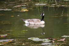 Free Bird, Water, Waterway, Duck Stock Photos - 134006643