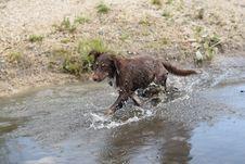 Free Dog, Dog Like Mammal, Boykin Spaniel, Carnivoran Royalty Free Stock Image - 134006686