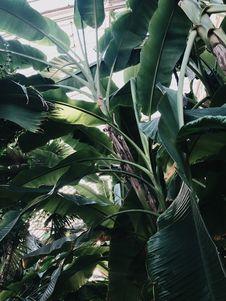 Free Low Angle Photo Of Banana Tree Royalty Free Stock Image - 134071986