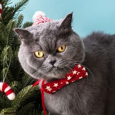 Free Close-Up Photo Of A Gray Cat Wearing Red Star Printed Bow Tie Royalty Free Stock Photos - 134072498