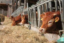Free Cattle Like Mammal, Cow Goat Family, Livestock, Farm Stock Image - 134103591