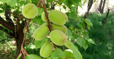 Free Fruit Tree, Fruit, Plant, Tree Stock Image - 134103681