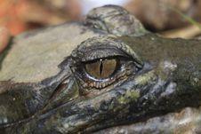 Free Reptile, American Alligator, Crocodilia, Terrestrial Animal Stock Images - 134104054
