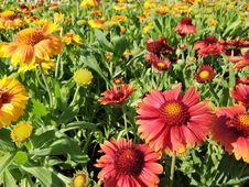 Free Flower, Blanket Flowers, Plant, Daisy Family Stock Photo - 134104060