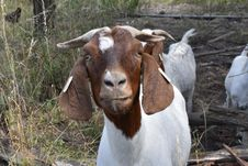 Free Goats, Goat, Cow Goat Family, Goat Antelope Stock Images - 134104314