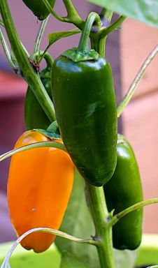 Free Chili Pepper, Vegetable, Natural Foods, Bell Peppers And Chili Peppers Stock Photos - 134104683