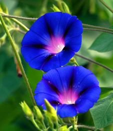 Free Blue, Flower, Plant, Morning Glory Stock Images - 134105204
