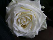 Free Flower, Rose, Rose Family, White Royalty Free Stock Image - 134105376