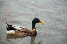 Free Duck, Bird, Water, Water Bird Royalty Free Stock Images - 134212709