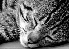 Free Cat, Whiskers, Black, Black And White Royalty Free Stock Photos - 134212778