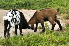 Free Goats, Goat, Pasture, Grazing Royalty Free Stock Images - 134213169